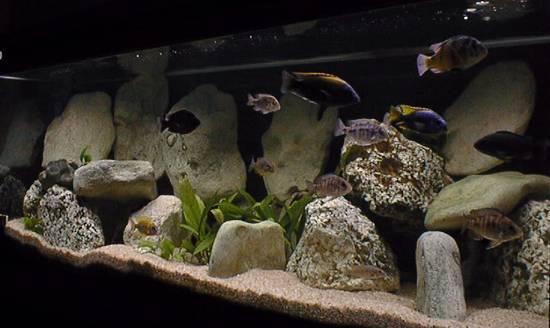 Cichlid Aquarium Design 128 gallon african cichlid,